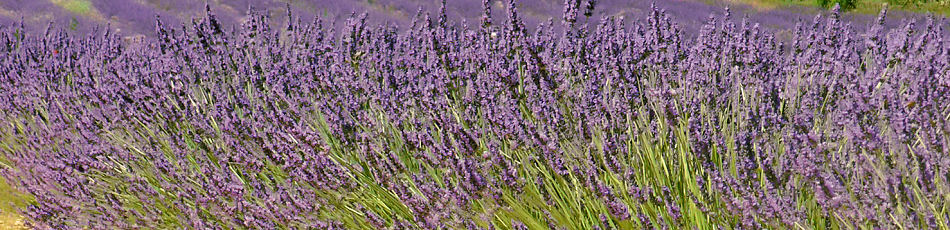 Lavander in the Luberon in Provence