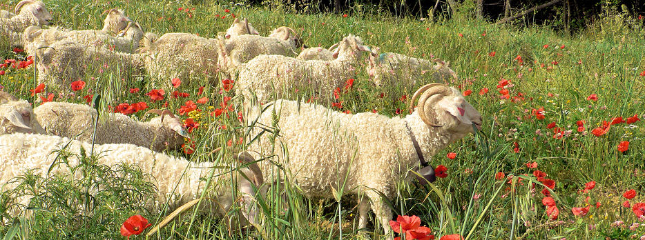 Breeding Merino sheep and Angora goats