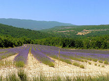 Lavender field in the Luberon