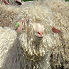 Angora goats herd in Provence