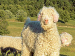 Breeding of Angora goats and Merino sheep