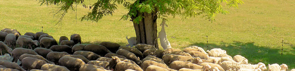 Herd of Angora goats in the Luberon in Provence